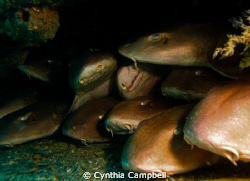 Brown Banded Bamboo Sharks SleepOver!!! Sorry, no more sp... by Cynthia Campbell 